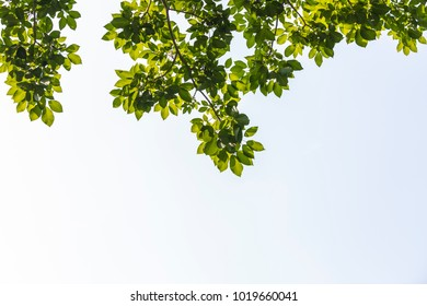 Green leafs From Below, Green leaves on blue sky background bottom view, green leaves background with copy space, selective focus