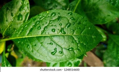 Green leafs of Bitterleaf tree or Gymnanthemum extensum, Asteraceae. Famous herbal tree in China and Thailand. Nan Chao Woei. Zhan Zhi Ban Jiu Ju.