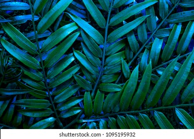 Green leafs of fern with raindrops in tropical. Top view. Flat lay. Nature background, close-up of  fern.