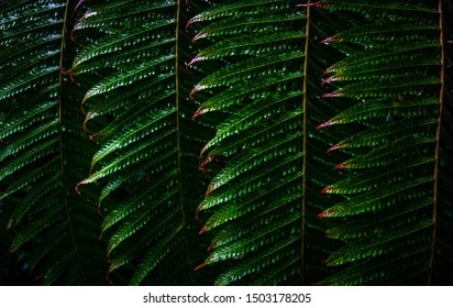 Green leafs of fern with in tropical. Top view. Flat lay. Nature background, close-up of fern. Green leaves pattern background, Natural background and wallpaper.