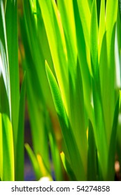 Green leafs of grass