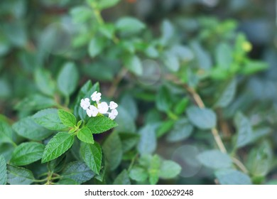 Green leafs, small white flowers with defocus background for copy space.
