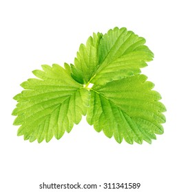 green leafs of strawberry with flower isolated on white background