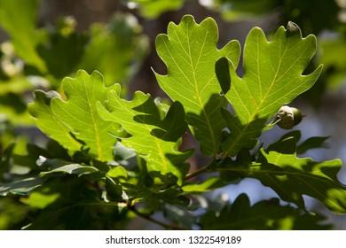 Green leafs in summer