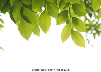 Green leafs in summer with white background