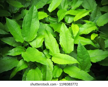 green leafs of Thunbergia laurifolia: laurel clockvine or blue trumpet vine bush from top view selective focus blur background