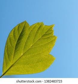 Green leaft on blue background (diagonal)