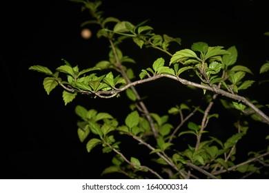 green leafy branch aginst a moonlit night sky