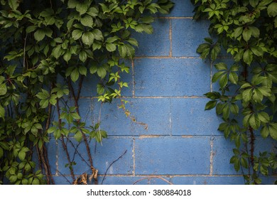 Green leafy vines covering a blue wall