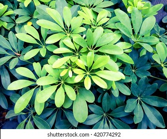 Green leave background. Green leave texture. Evergreen shrub background. Green abstract background. Green leaf.