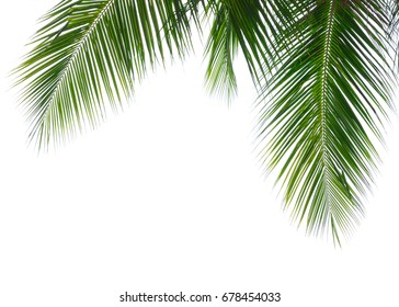 Green leave of coconut palm tree isolated on white background