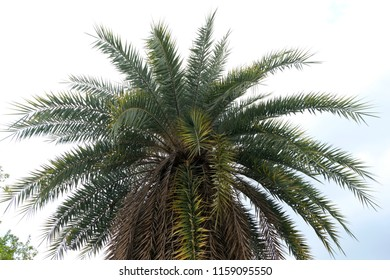 Green leave of coconut tree