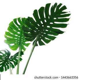 Green leave of Monstera plant or split-leaf philodendron (Monstera deliciosa) the tropical foliage houseplant isolated on white background, clipping path included.