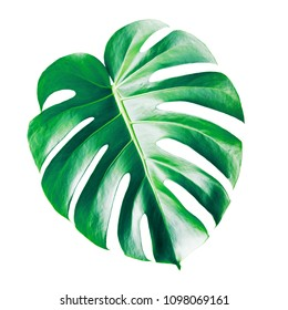 Green leave of Philodendron (Monstera deliciosa) isolated on white background
