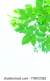Green leave and white background.