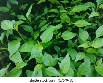 Green Leaves (1)
