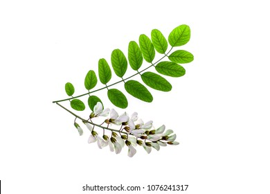 Green leaves of Acacia Acacia and white flowers on a white background