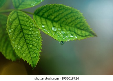 Green leaves after the rain - Shutterstock ID 1958019724
