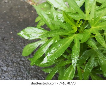 Green leaves after the rain
