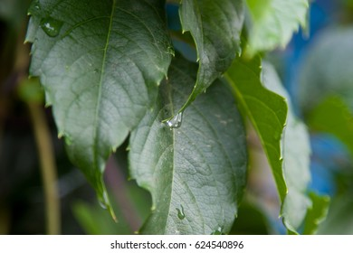 Green leaves after the rain. Natural background