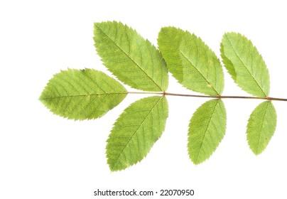 green leaves against white background