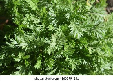 Green leaves of Artemisia alba (known also as Artemisia Camphorata)