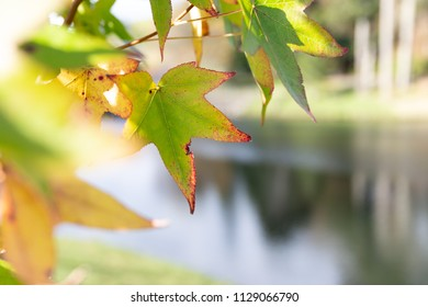 Green leaves in autumn/fall by a lake
