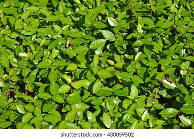 Green leaves as a background