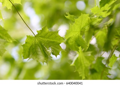 Green leaves background against the sky with bokeh, Spring blossom background - abstract floral border of leaves