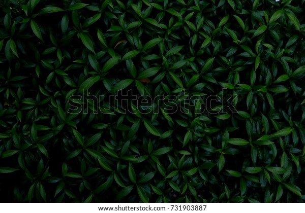 Green leaves background. Green leaves color tone dark  after raining in the morning.