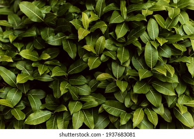 Green leaves background, Evergreen leafs pattern, Fresh natural foliage textured as natural wallpaper - Shutterstock ID 1937683081