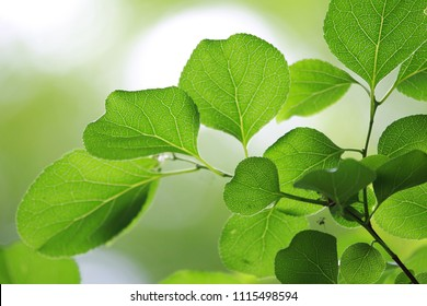 Green Leaves Background with Sunlight