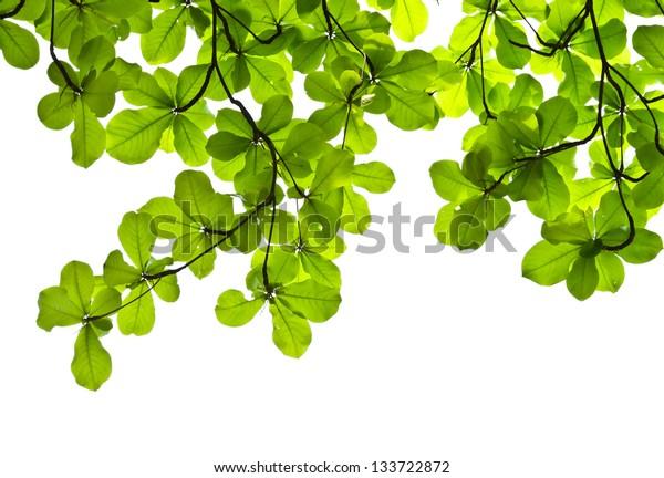 Green leaves background of Terminalia catappa tree