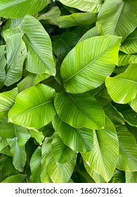 Green leaves background and texture ,Abstract nature background