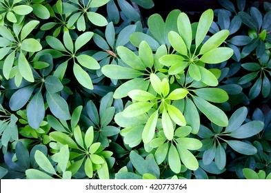 Green leaves background. Green leaves texture. Evergreen shrub background. Green abstract background. Green leaf.