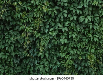 Green leaves background, wall covered with green plants