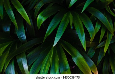 Green leaves background.Green leaves color tone dark in the morning.Tropical Plant in Thailand,environment,good air.photo concept nature and plant.