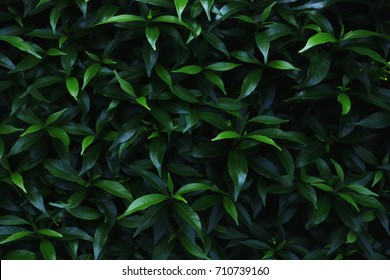 Green leaves background.Green leaves color tone dark  in the morning.Tropical Plant,environment, photo concept nature and plant.