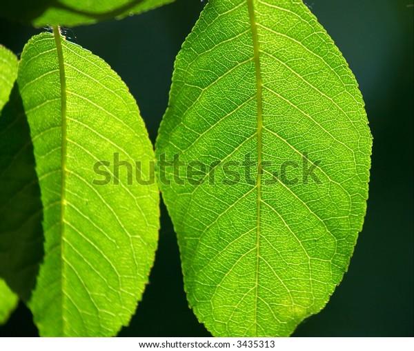 Green leaves backlit by sunlight