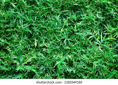 green leaves of bamboo leaves use as natural background