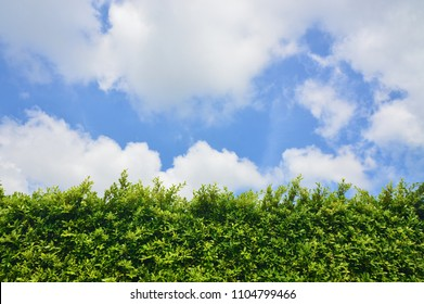 Green leaves of banyan tree with sky background, Ficus annulata, Nature green tree, blue sky