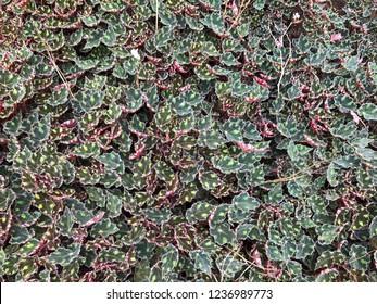 Green leaves in the beautiful Nusantara Flower Garden, Puncak West Java Indonesia