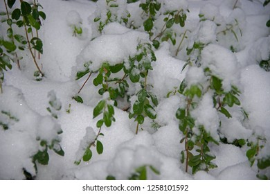 green leaves of bilberry in snow