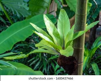 Green leaves of Bird's-nest fern or Nest fern (Asplenium nidus) hanging on tree in garden.