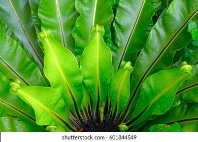 Green leaves of Bird's-nest fern or Nest fern (Asplenium nidus) with water drops after rain
