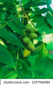 green leaves of a black walnut tree with ripening nuts