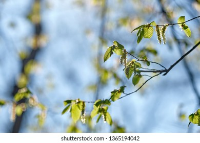 The green leaves and blossoms of a hornbeam tree in spring on a beautiful sunny morning with blue sky in a park in Nuremberg, Germany, in April 2019