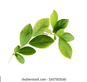 Green leaves of blueberry isolated on white
