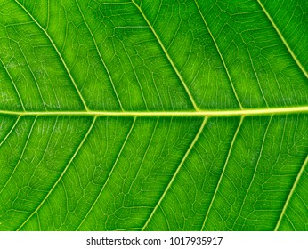 Green leaves of the Bodhi tree