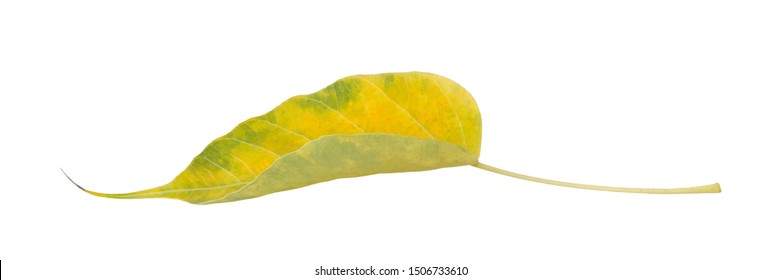 Green leaves of Bodhi tree , Ficus religiosa or Sacred fig ,Symbols of Buddhism